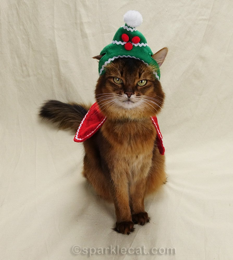 somali cat with ill fitting holiday hat