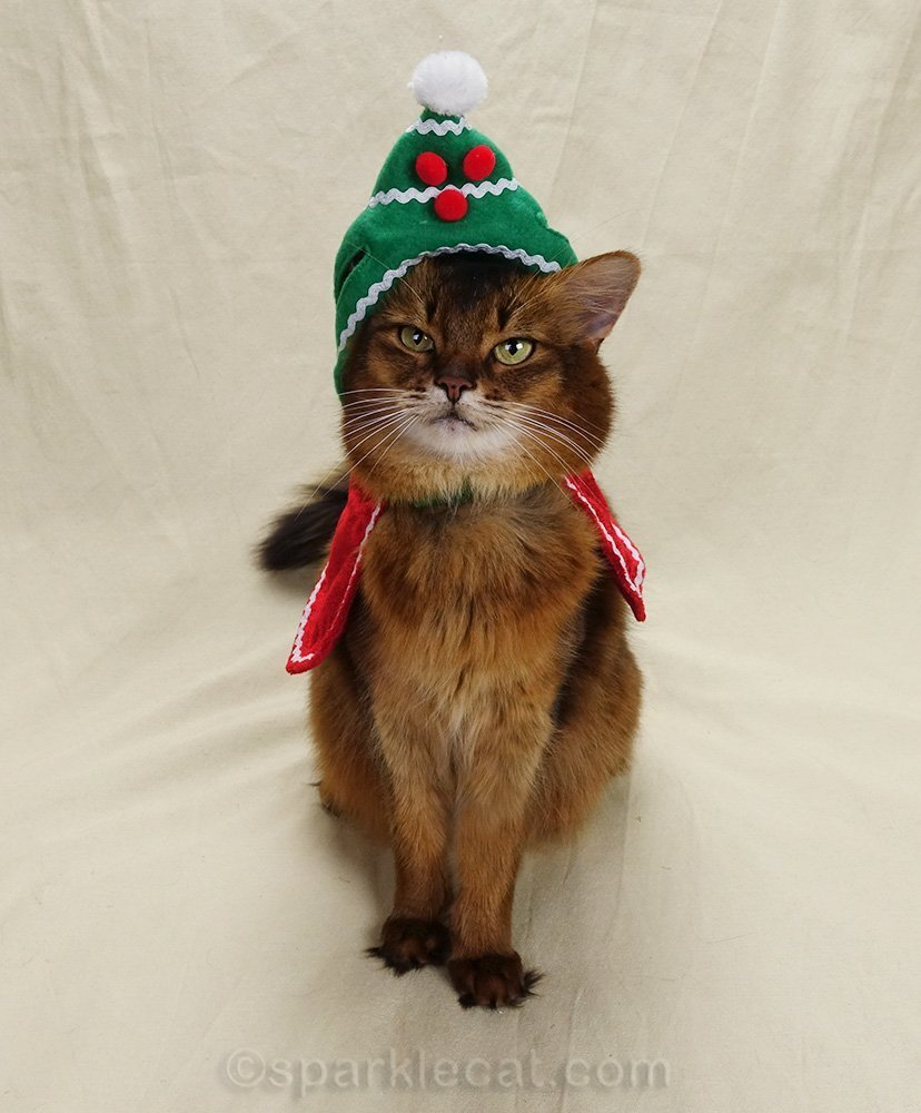 somali cat with holiday hat slipping off