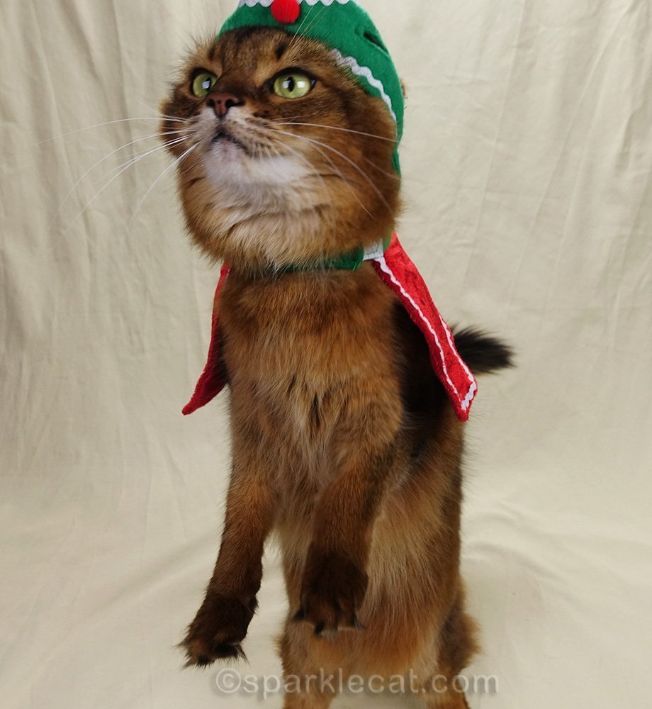 somali cat in holiday hat sitting up for treats