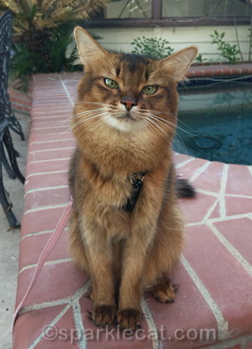 somali cat sitting by built-in spa