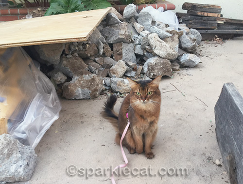 somali cat surrounded by old wood and broken concrete