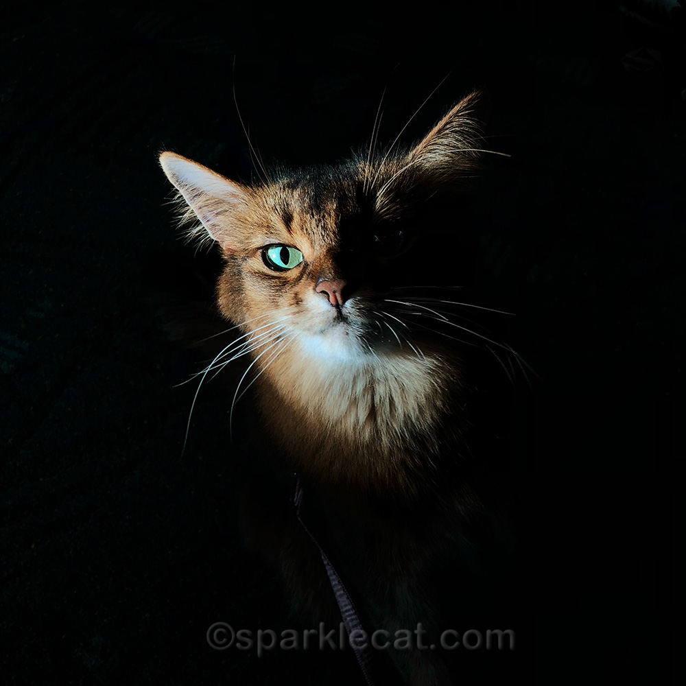 shadowy photo of somali cat during her return trip from Portland