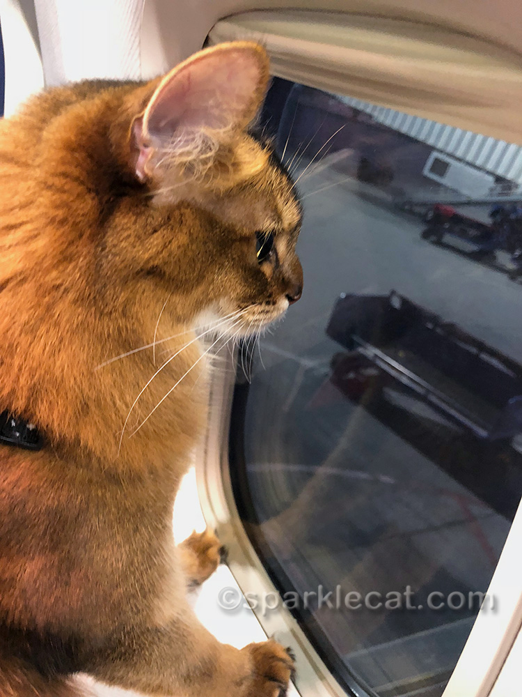 somali cat looking out window while plane is stopping in Vegas