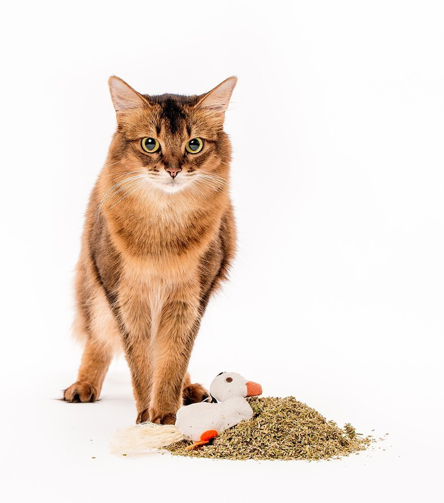 somali cat posing with catnip and cat toy