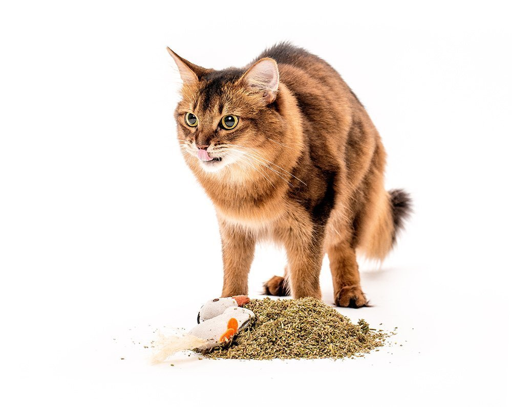somali cat model tasting catnip
