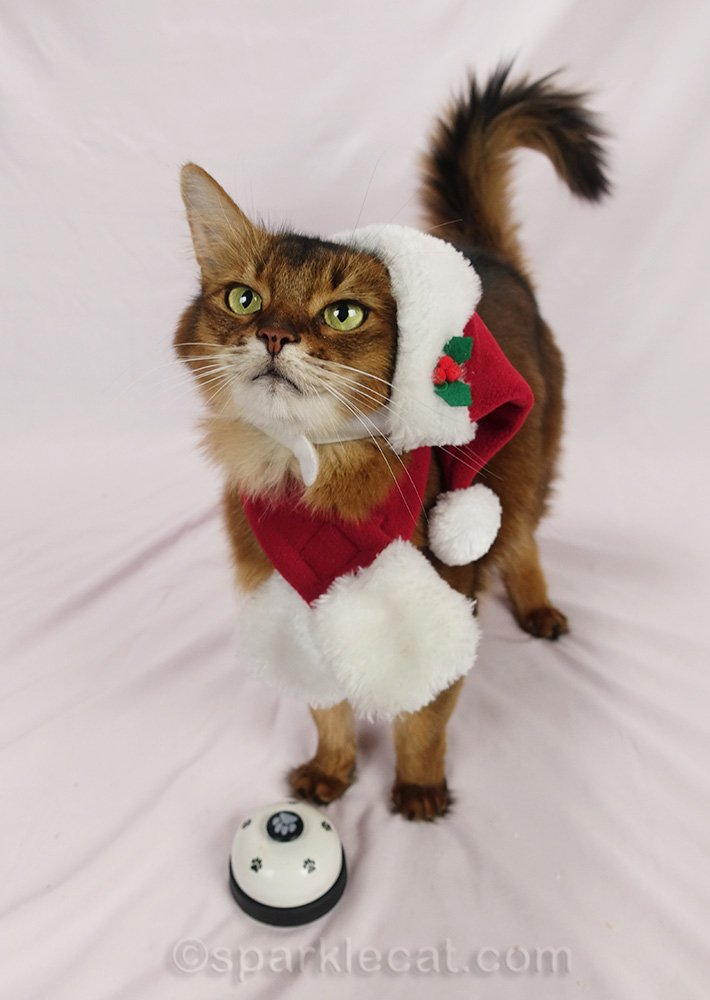 somali cat in Santa hat wants treats