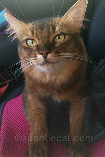 somali cat in car, waiting to go shopping