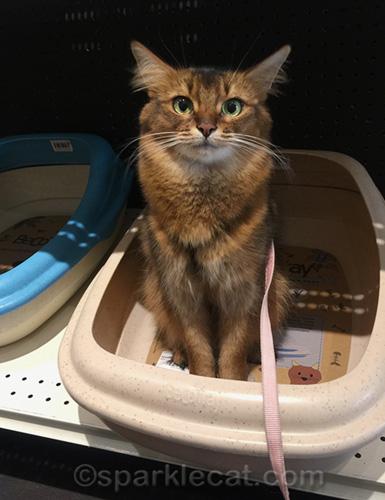 somali cat sitting in litter box on display at pet shop