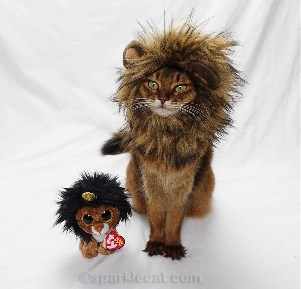 somali cat with lion mane, curious about what is coming next
