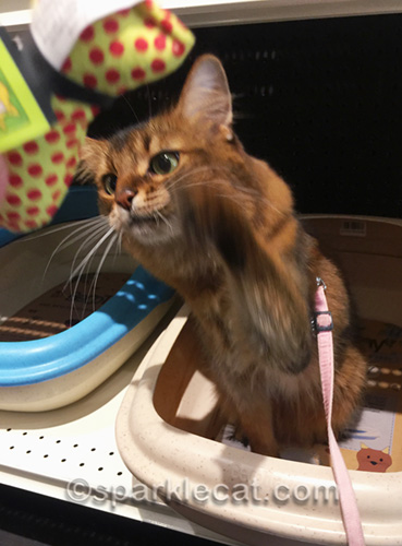 somali cat gleefully whapping at catnip cat toy