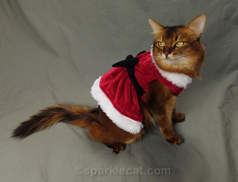 somali cat wearing pretty santa dress