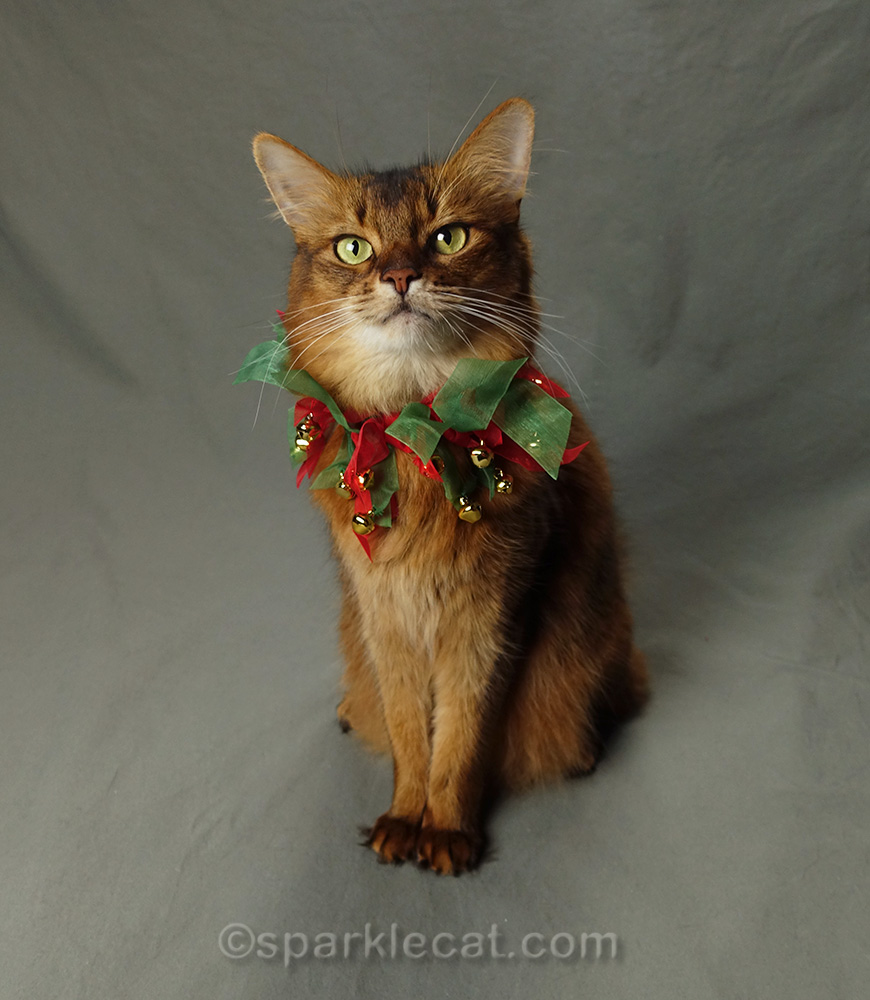 somali cat wearing jingle bell collar