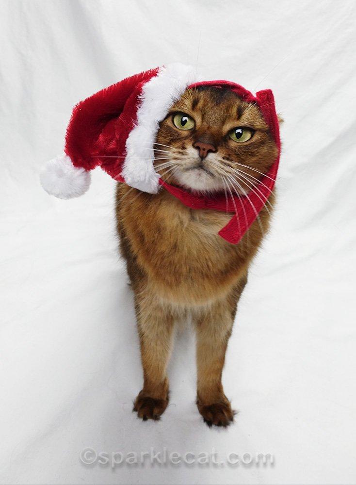 somali cat with ill fitting Santa hat