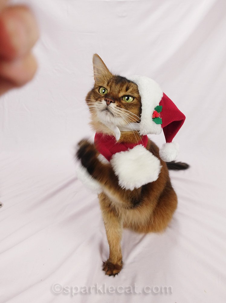 somali cat in santa hat, waving paw and looking demented