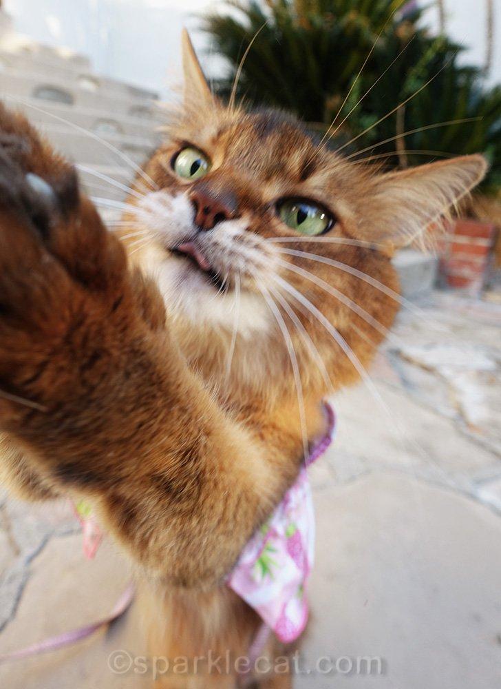 Somali cat frantically grabbing for treat