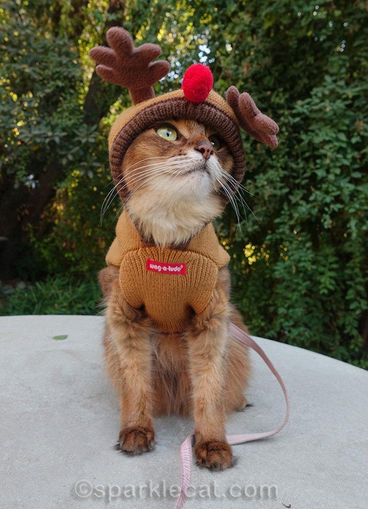 Somali cat in reindeer sweater, bird watching