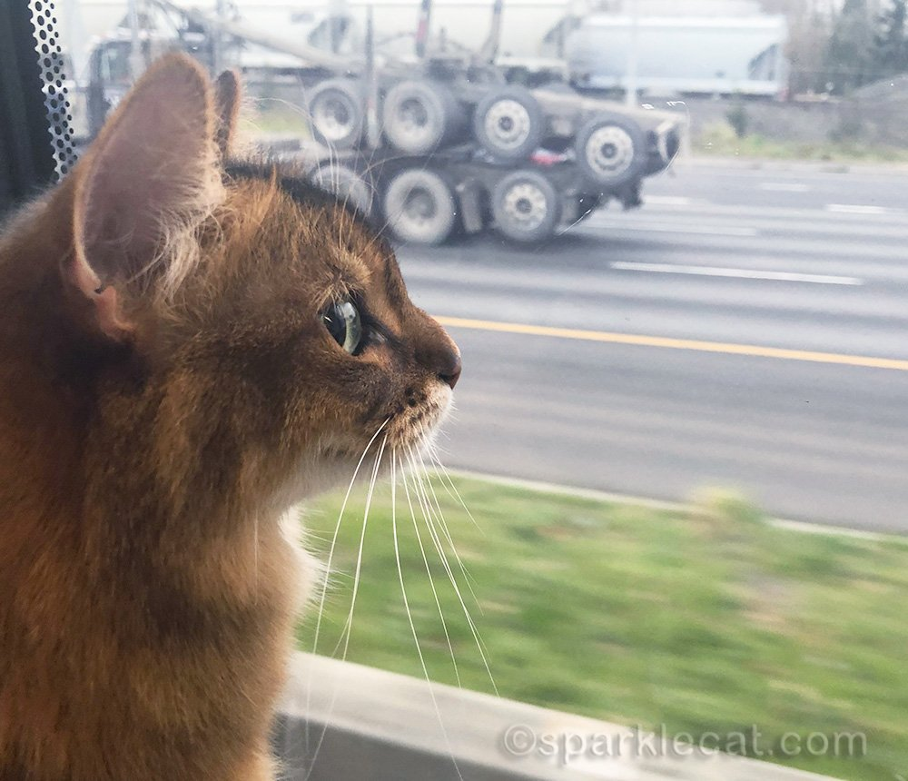 somali cat on light rail from portland airport