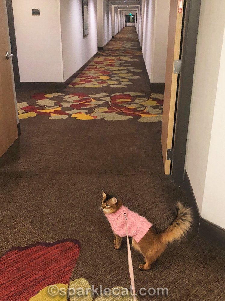 somali cat on a leash, on her way back to the hotel room
