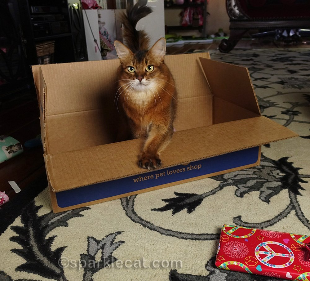 somali cat back in box after gifts being wrapped