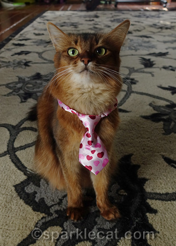 somali cat with hearts tie