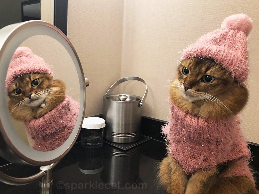 somali cat suspicious of mirror kitty