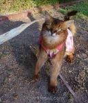 somali cat in dress, looking at turkey tendon