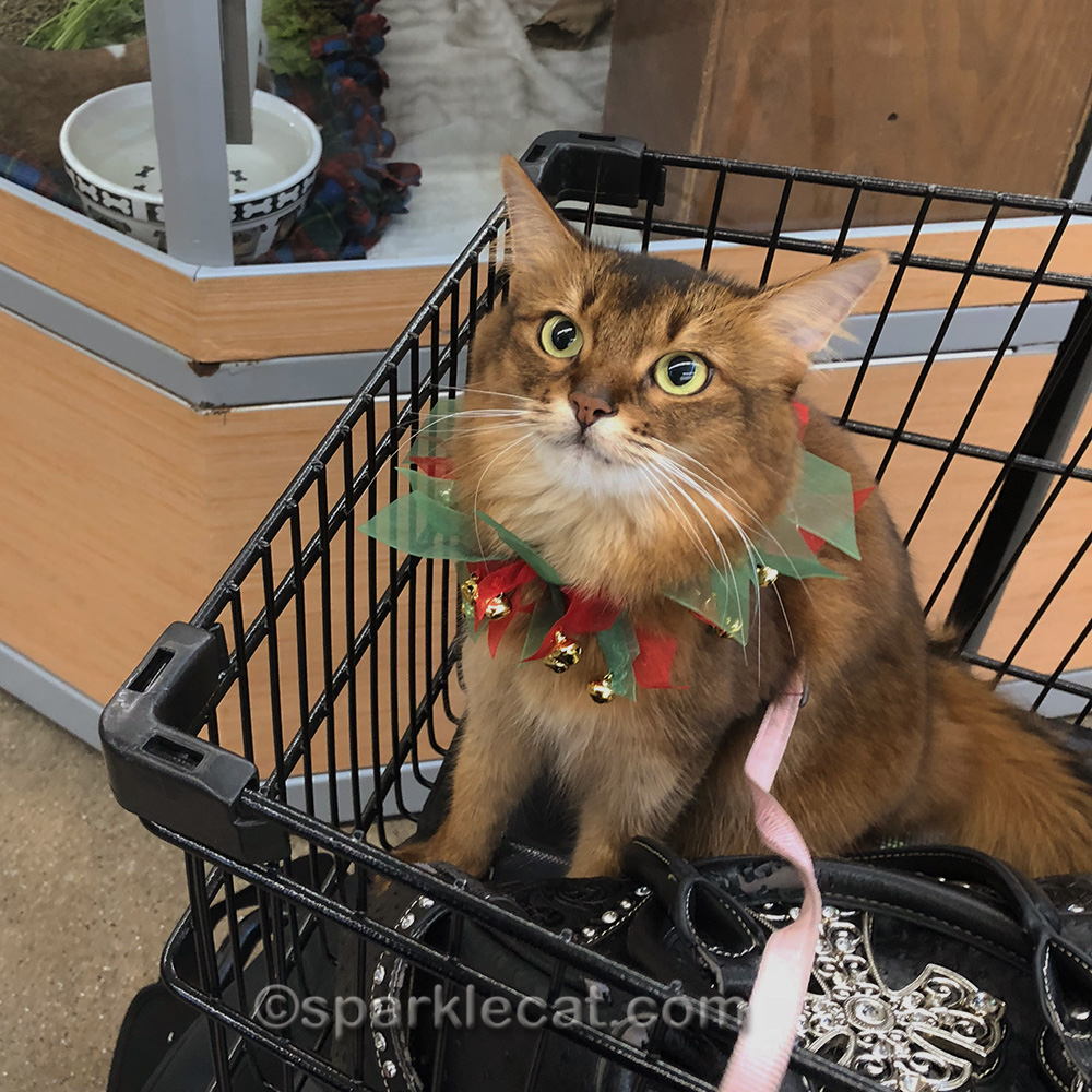 somali cat looking cute after meeting Santa