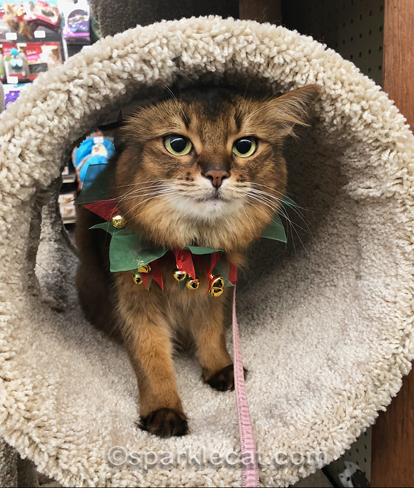 somali cat in pet store cat tree