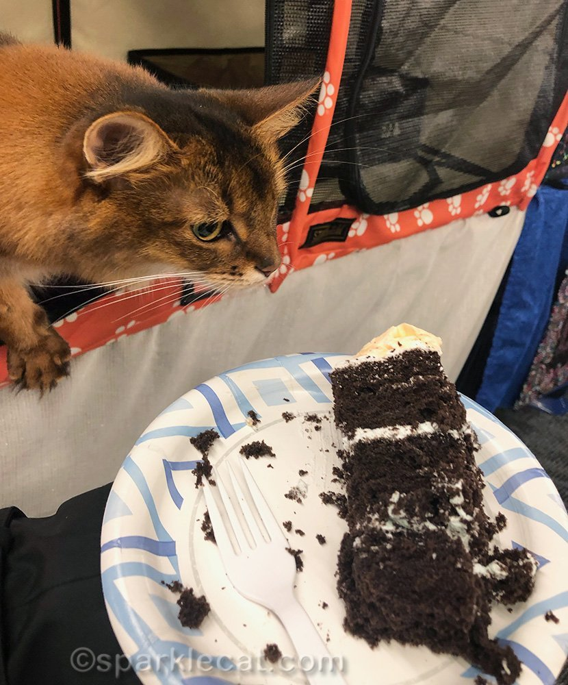 somali cat desperately wanting a taste of cake