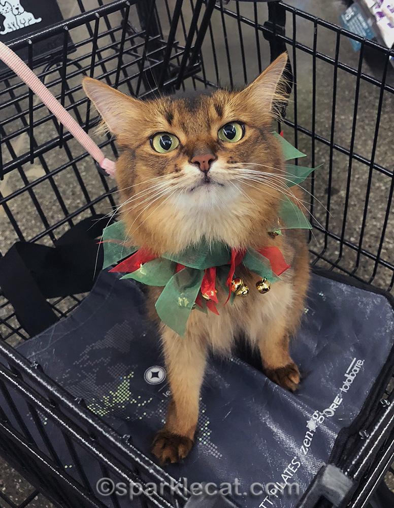 somali cat in Petco shopping cart