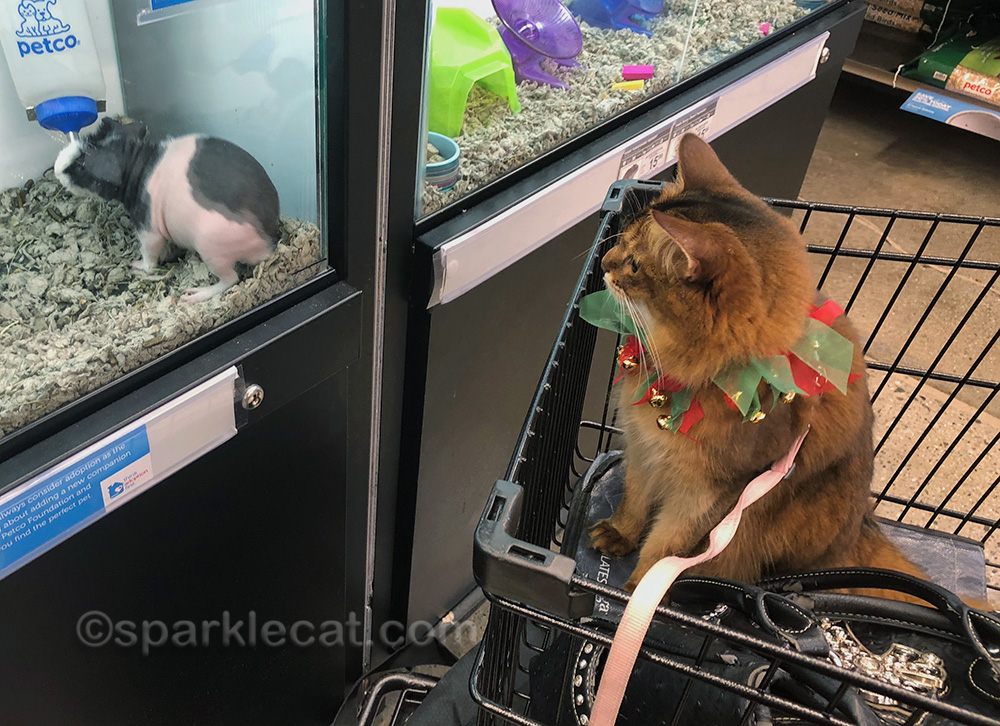 somali cat looking at naked Guinea pig
