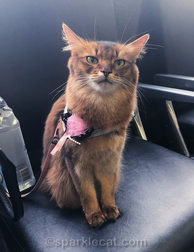 somali cat at the airport, waiting to board