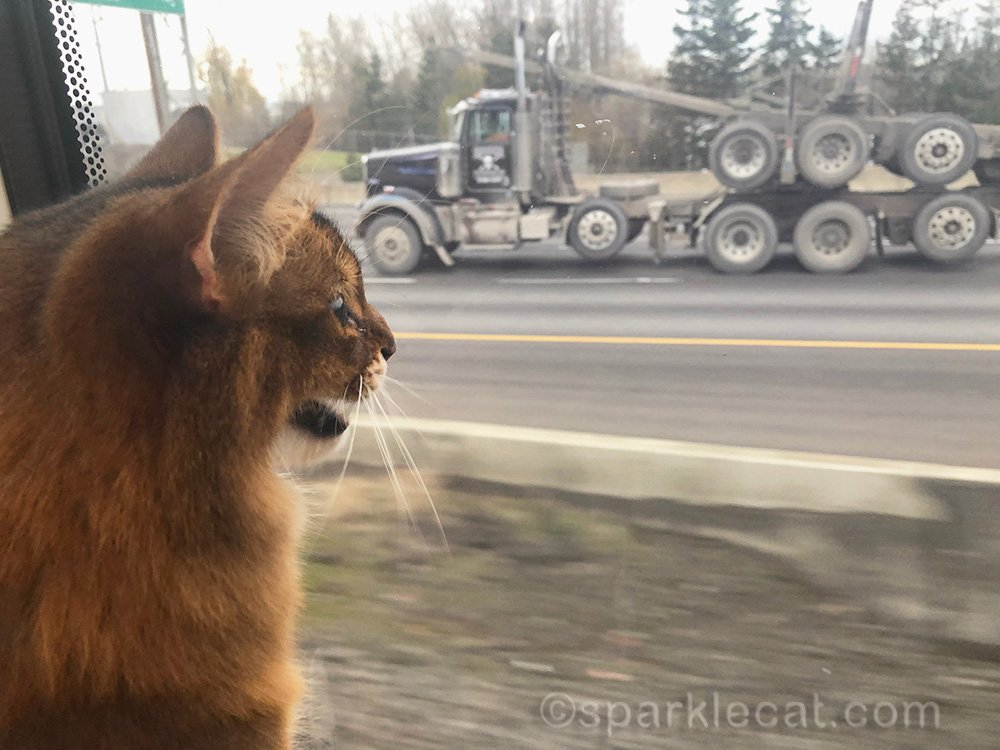 somali cat amazed by truck on the road