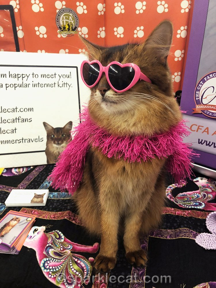 somali cat in pink heart sun glasses and a pink boa
