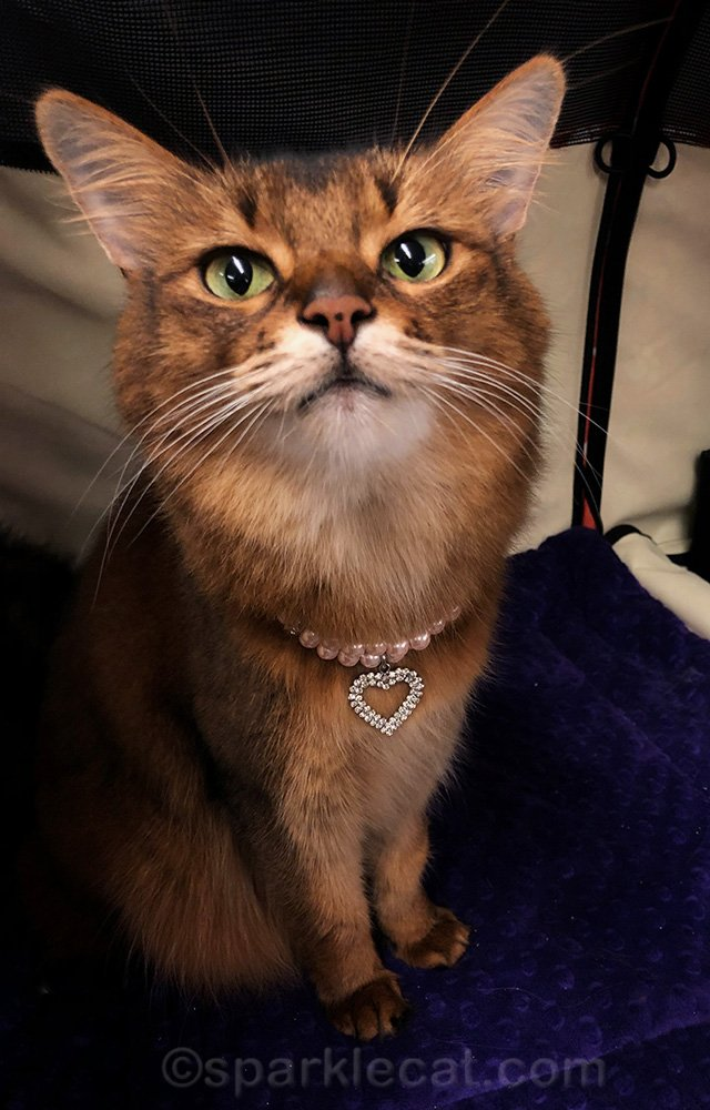 somali cat wearing necklace, waiting for treat
