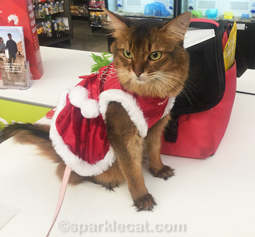 somali cat wearing Santa dress at Petco