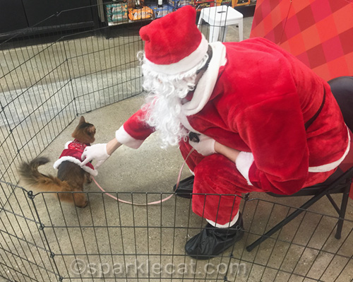 somali cat being petted by Petco Santa