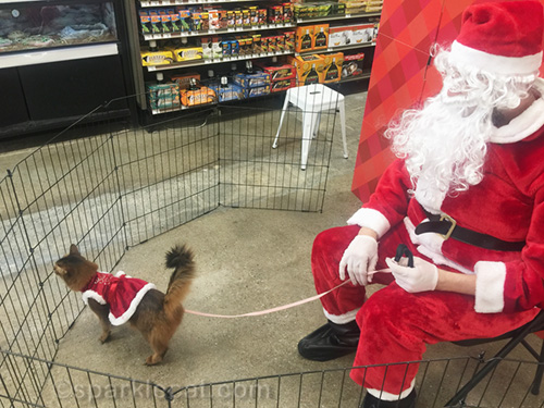 somali cat in Santa dress on leash with Santa holding leash