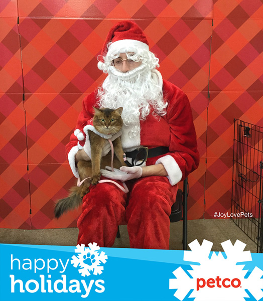 somali cat posing with Petco Santa