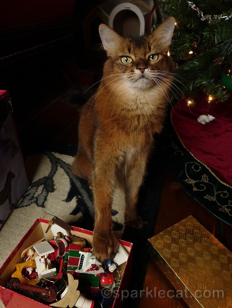 somali cat picking out ornaments