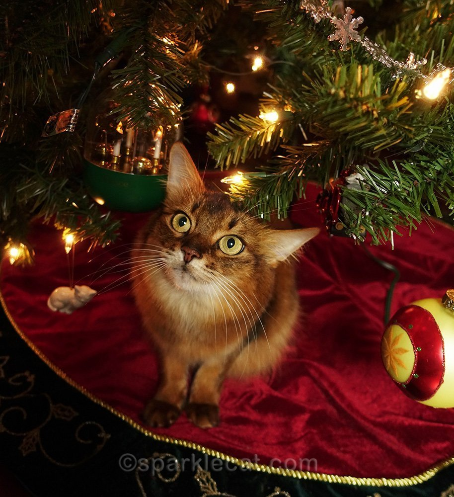 somali cat looking at ornaments on the tree