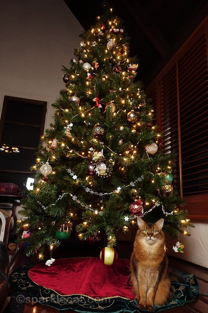 somali cat sitting in front of almost-finished Christmas tree