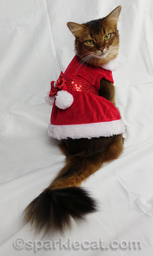 somali cat posing in festive red holiday dress with white trim