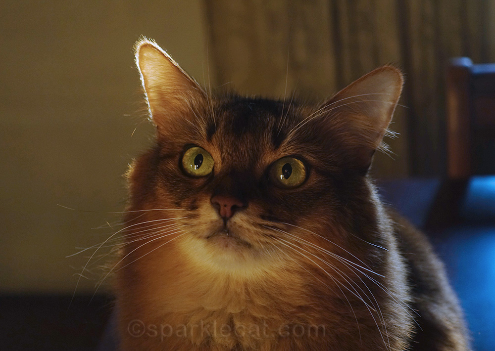 close up of somali cat on winter afternoon