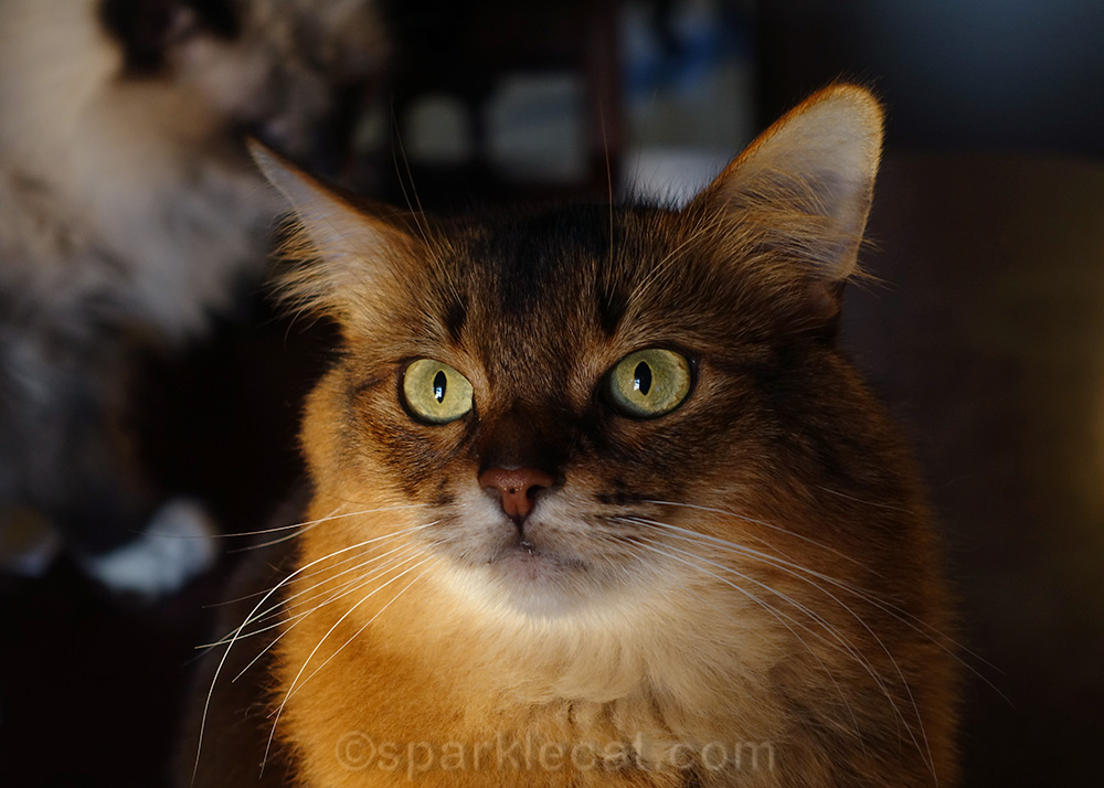 somali cat in late afternoon sun
