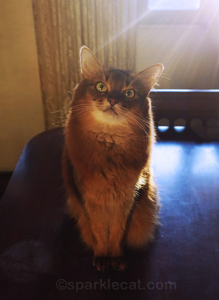 somali cat with sun rays behind her