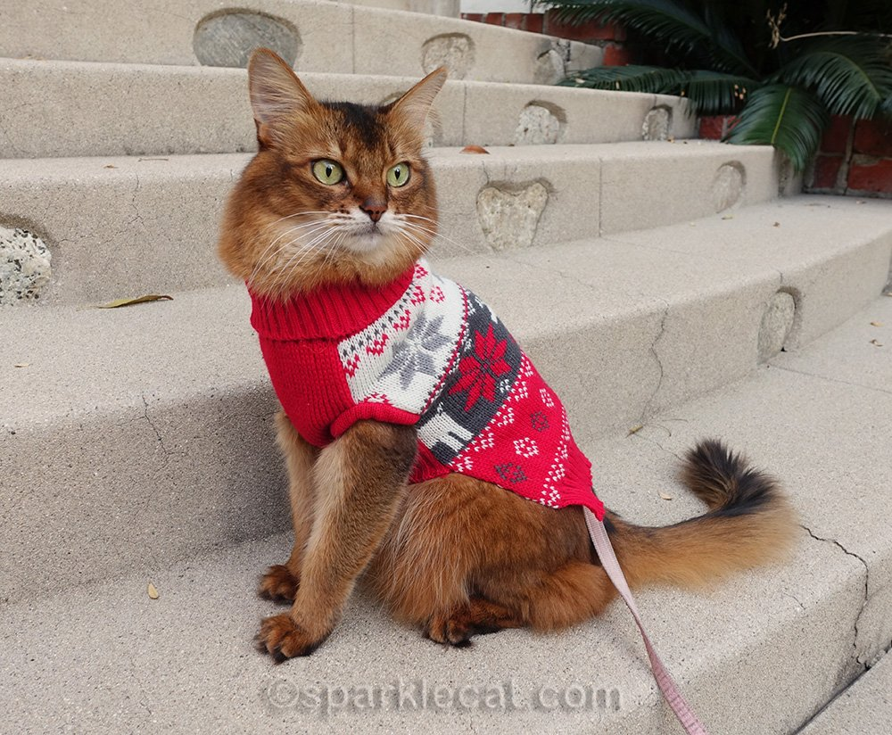 somali cat in sweater on front steps