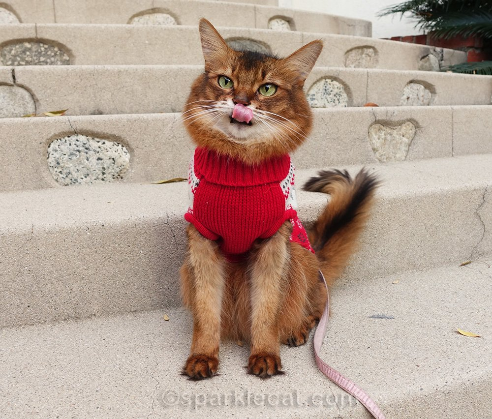 somali cat in sweater with tongue out