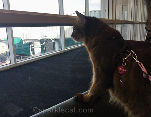 somali cat at airport, waiting for plane to arrive
