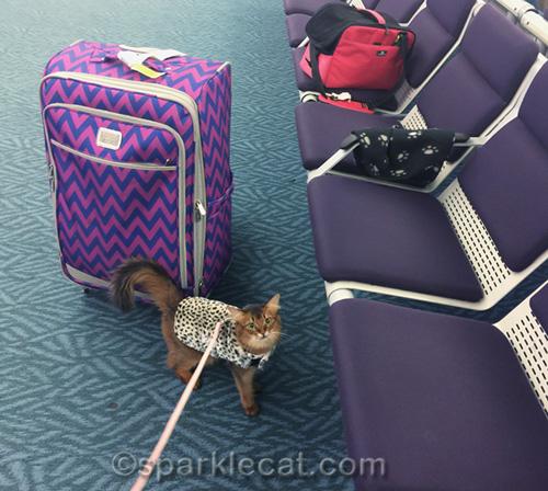 somali cat in a leopard print jacket - a true international traveling kitty